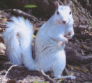 Brevard College White Squirrel