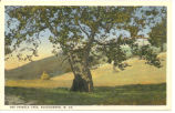 Pringle Tree, Buckhannon, W. Va.
